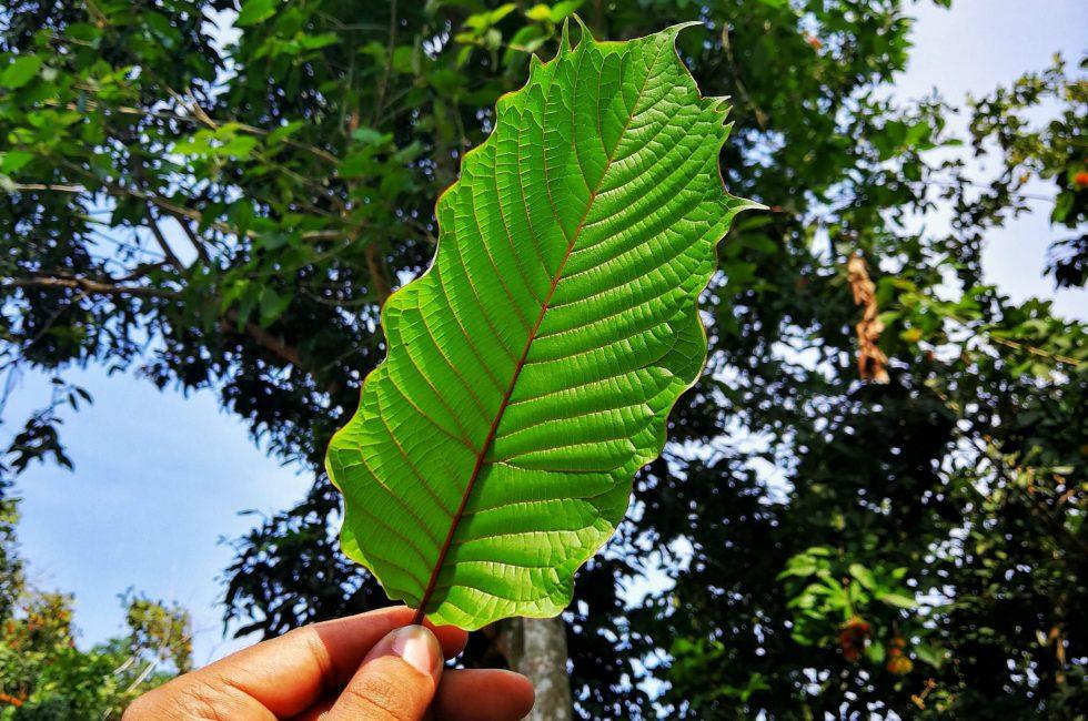 red kratom leaf