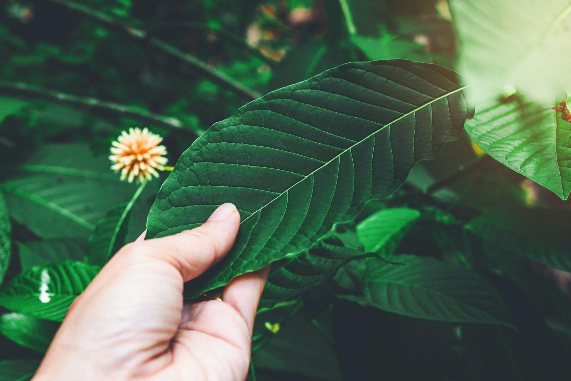 What is Green Kratom? kratom bloom
